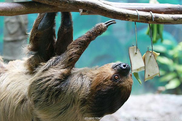 海外では人気のペット「ナマケモノ」に関する7つ …
